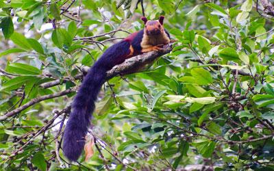 Malabar Squirrel